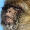 An ape in Gibraltar