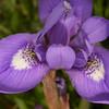Kr 0962 Moraea sisyrinchium