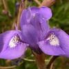 Kr 0961 Moraea sisyrinchium