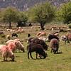 Kr 2837 schapen op de Omalos hoogvlakte