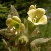 Kr 2829 Hyoscyamus albus