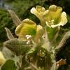 Kr 2828 Hyoscyamus albus
