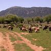 Kr 2834 schapen op de Omalos hoogvlakte