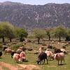 Kr 2836 schapen op de Omalos hoogvlakte