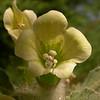 Kr 2830 Hyoscyamus albus