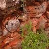 Kr 3251 Delphinium staphisagria