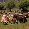 Kr 2838 schapen op de Omalos hoogvlakte