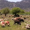Kr 2839 schapen op de Omalos hoogvlakte
