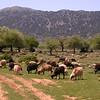 Kr 2835 schapen op de Omalos hoogvlakte
