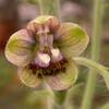 Kr 3250 Delphinium staphisagria