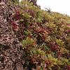 Kr 4486 Pistacia lentiscus