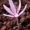 Kr 4291 Colchicum pusillum