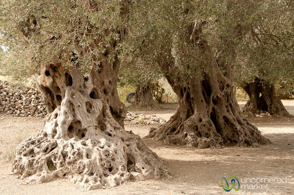 Ancient Olive Trees - Gortys, Crete