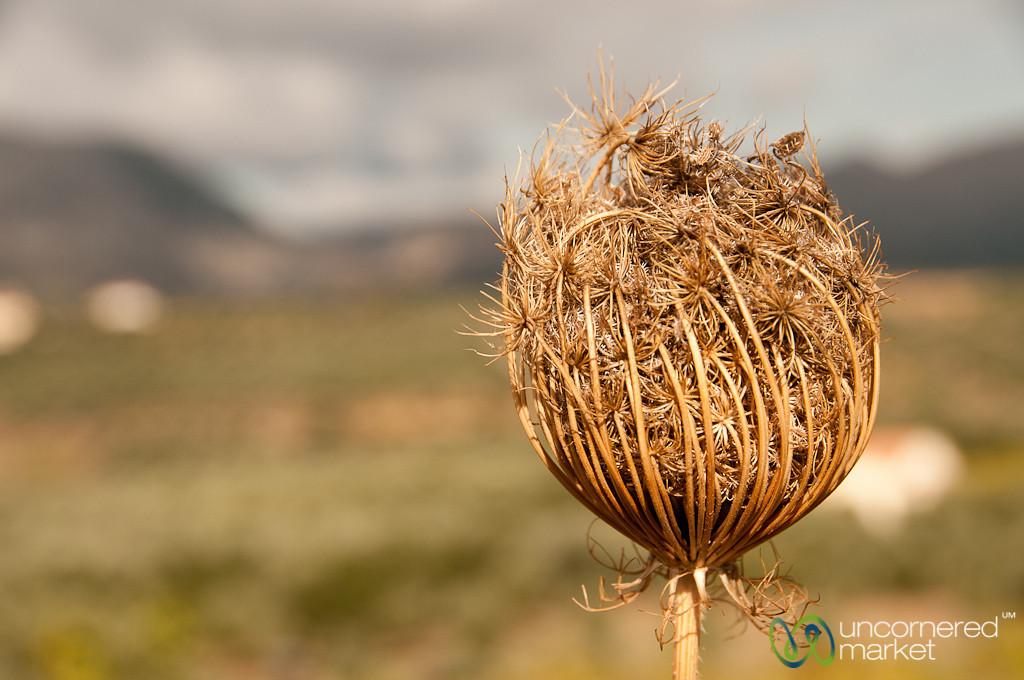 Dried Flower on Crete