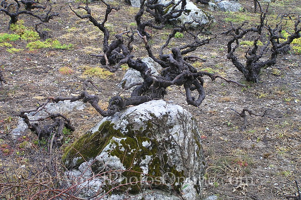 Crete - Lasithi Plateau - Grape Vines