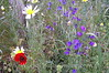 Crete - Rethymno - Venetian Fortress - Wild Flowers