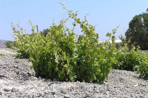 Santorini - Grape vine wrap