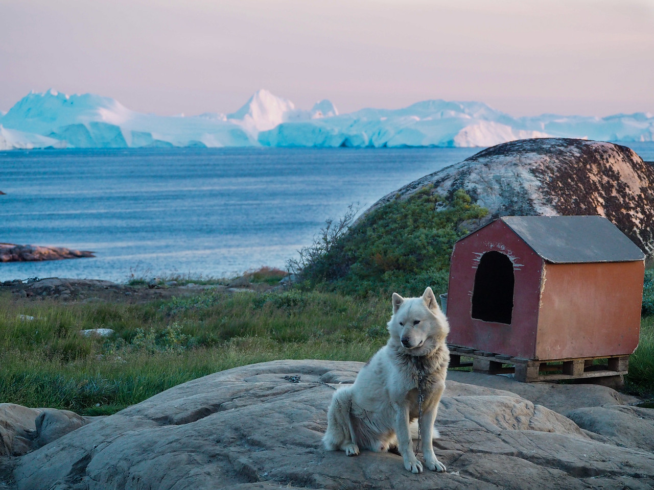 Sled dog at sunset in Ilulissat