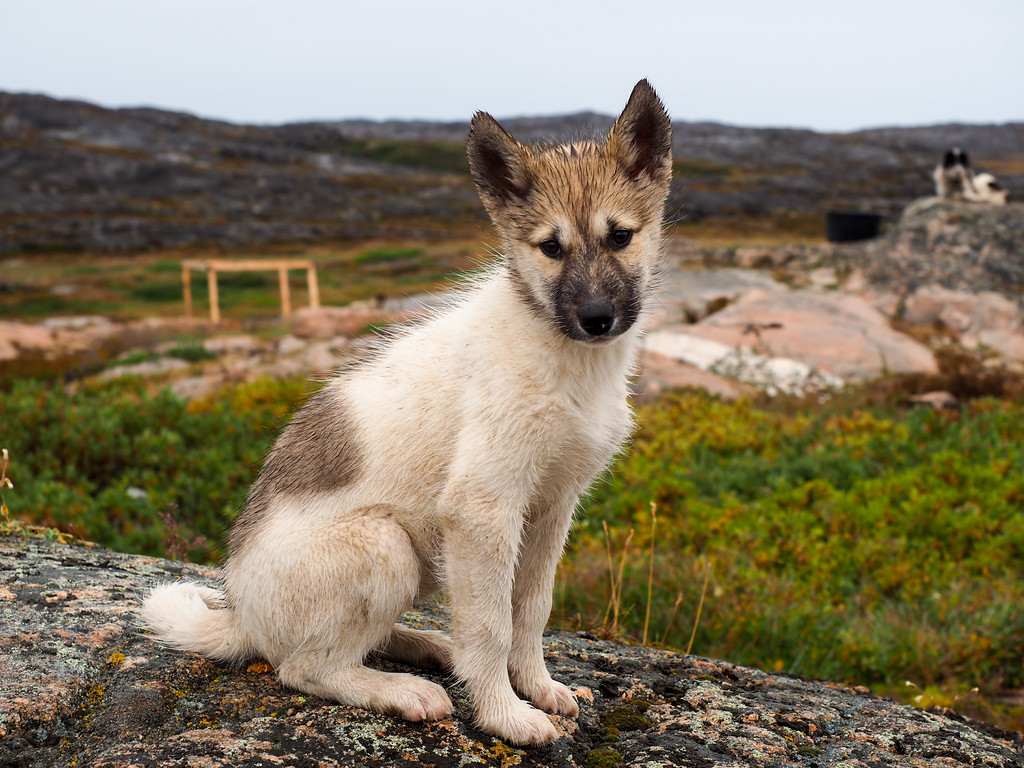 Sled dog puppy in Ilulissat