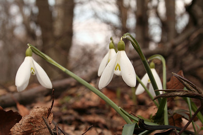Snowdrops around Dobogókó