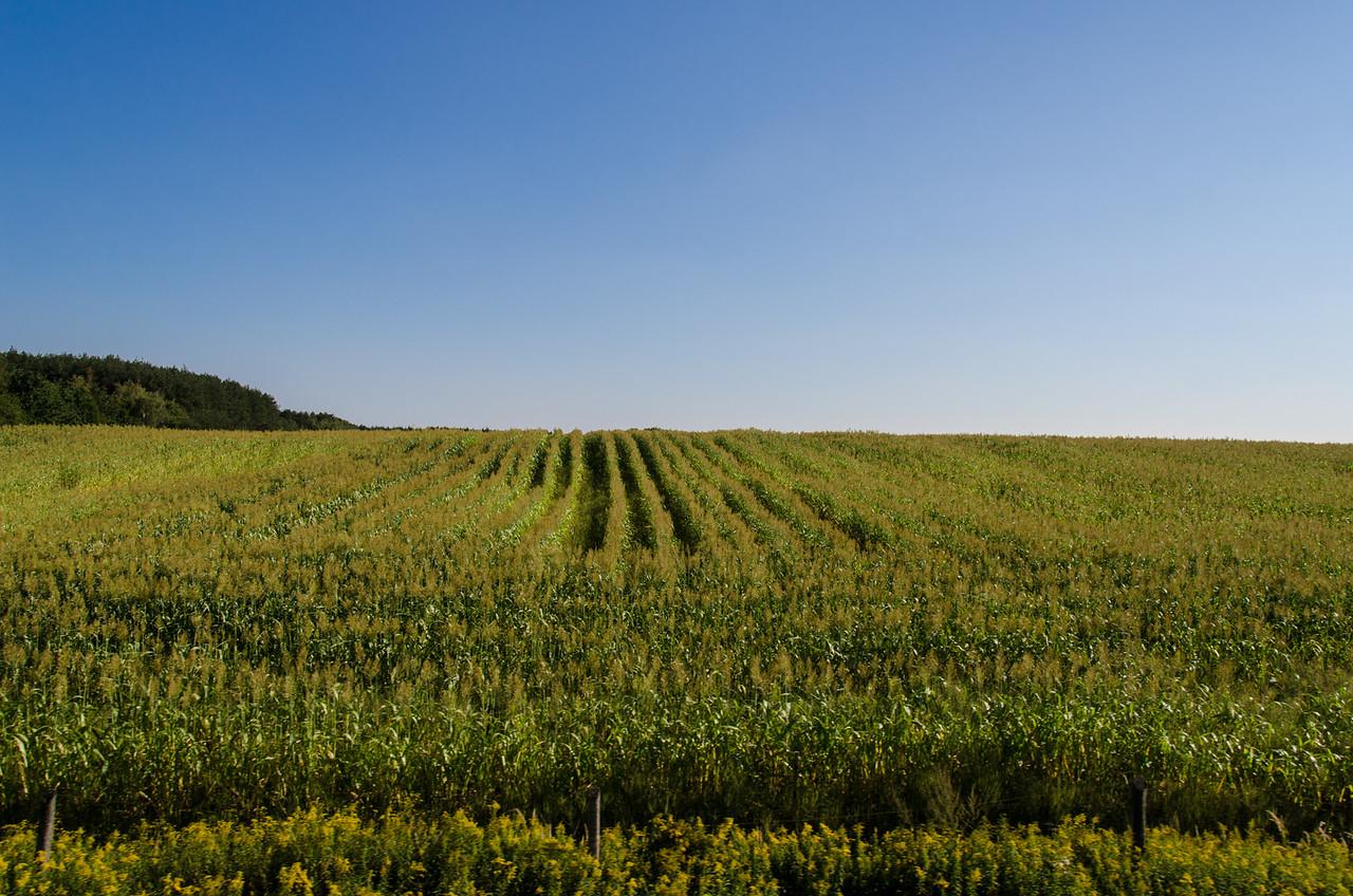 Hungarian corn fields.