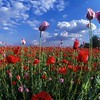 Poppy Field<br /> Szentendre, Hungary
