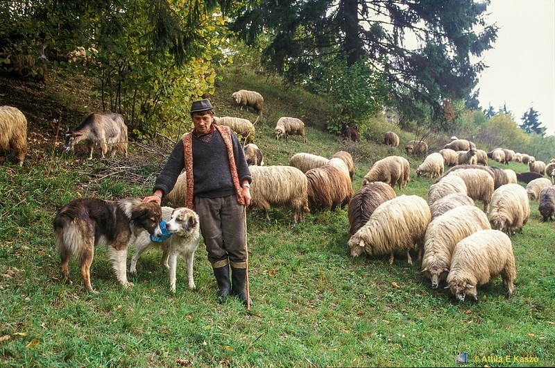 Shepherd - Sheep and Dogs<br /> Csiksomlyo, Transylvania (Erdely), Romania