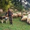 Shepherd - Sheep and Dogs<br /> Csiksomlyo, Transylvania (Erdely), Romania