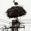 European Stork Hungary