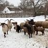 Racka Sheep (Native)<br /> Opusztaszer Village, Hungary