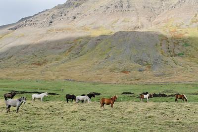 West Fjords - Iceland ponies