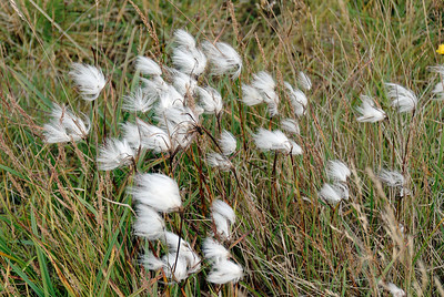 West Fjords - Subarctic flowers in the wind