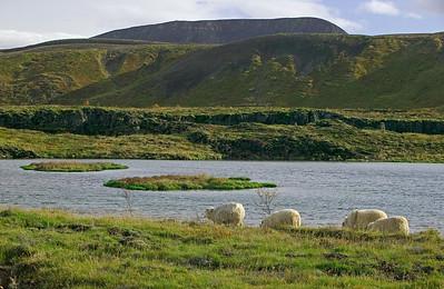 sheep at Hengill A