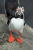 Iceland - The Mythical Puffin :