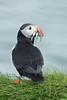 Icelandic puffin