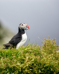 Puffins on the cliffs near Fagurholmsyri