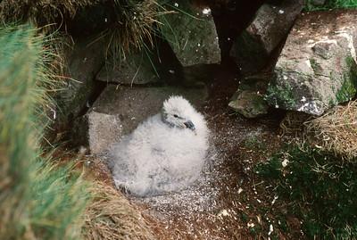 Chick, Latrabjarg cliffs