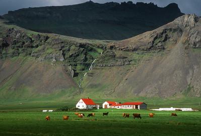 Farmhouse and cows