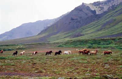Icelandic horses in the Markarfljot Valley