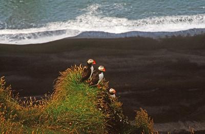 Atlantic puffins near Dyrholaey