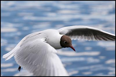 Black Headed Gull, Reykjavik