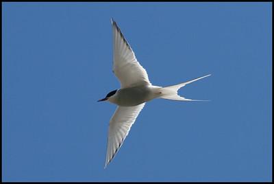 Arctic Tern, Westfjords