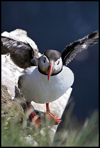 Puffin, Westfjords