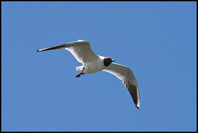 Black Headed Gull, Reykjavik