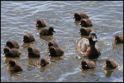 Eider ducks, Reykjavik
