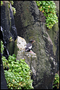 Black Guillemot with catch, Papey