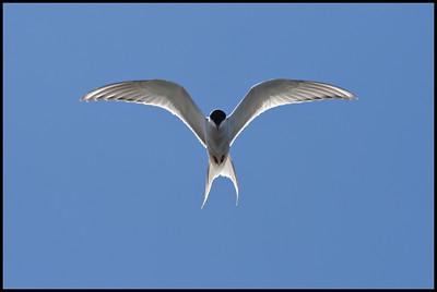 Arctic Tern, Reykjavik