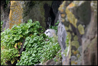 Fulmar chick, Papey