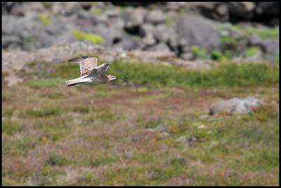 Whimbrel, north Iceland
