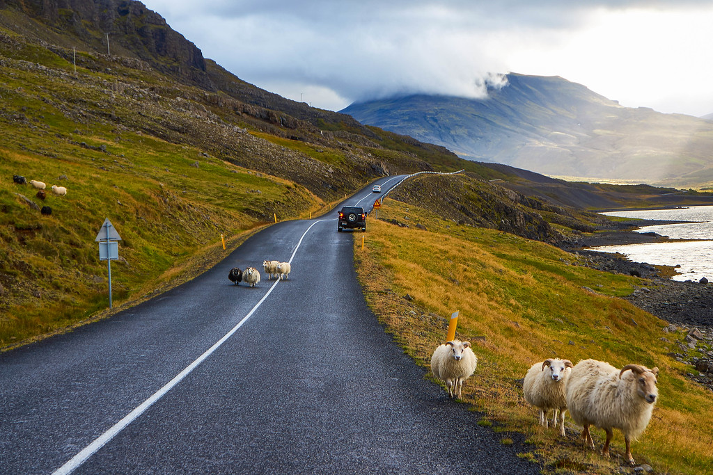 Sheep on the road to Glymur, Iceland